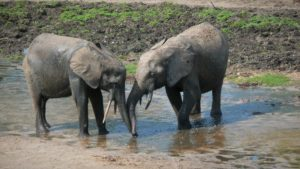 Two elephants observed by Dr. Hedwig