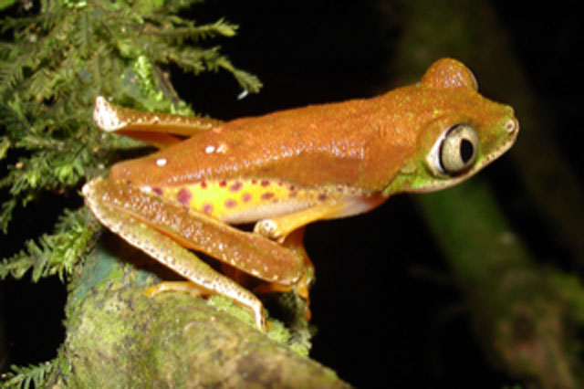 Type of frog affected by a pathogenic fungus