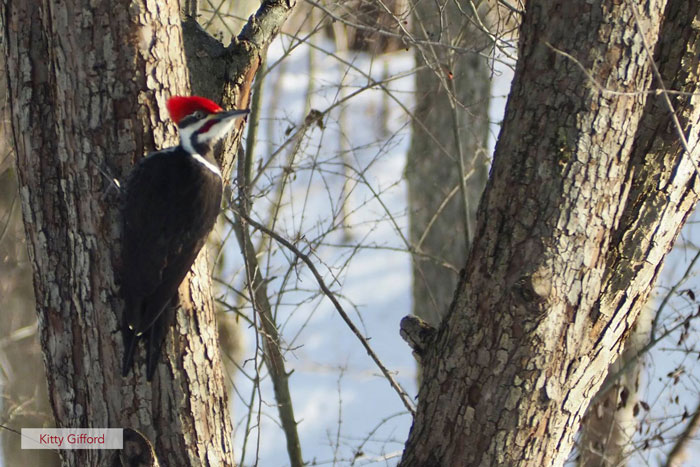 pileated woodpecker in newfield new york